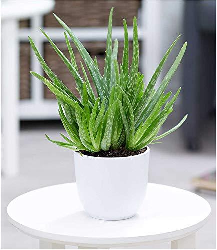 Blumen Senf Echte 2 Pflanzen Aloe Vera 35-40 cm hoch Zimmerpflanze 12cm Topf
